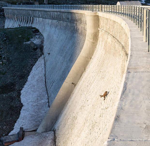 Для чего горные козлы забираются на отвесные плотины