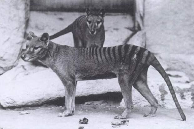 В объектив видеокамеры попало животное, считавшееся давно вымершим
