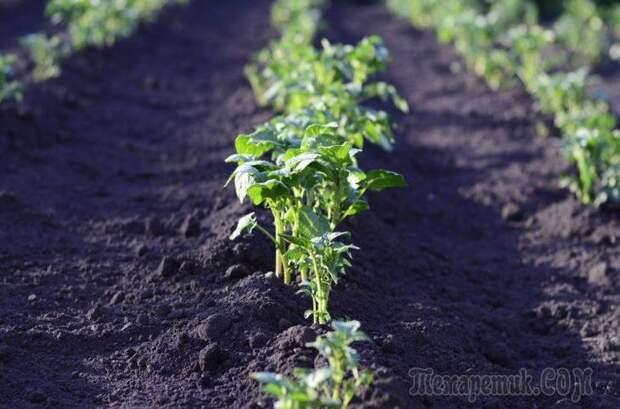 Что нужно знать о прополке картофеля