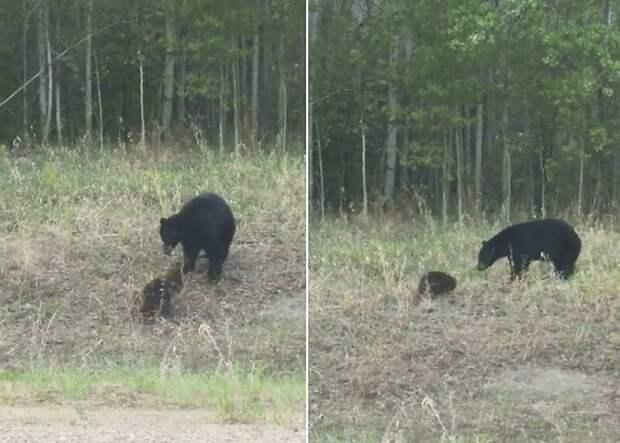 Драка бобра и медведя попала на видео