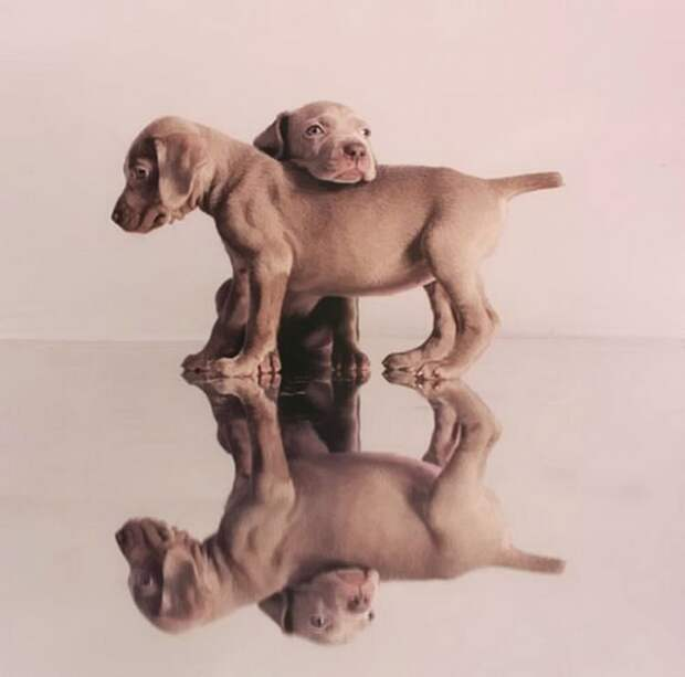 William Wegman - Man Ray