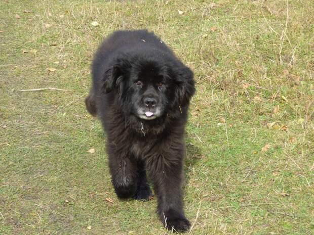 Гигантский пес был в настолько запущенном состоянии, что едва мог ходить водолаз, ньюфаундленд, породистый пес, собака