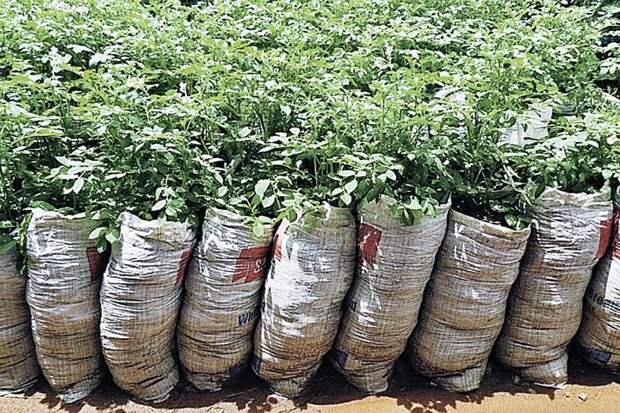 Для посева подойдут обычные плотные мешки из-под муки или сахара. Фото: realinfozones.com