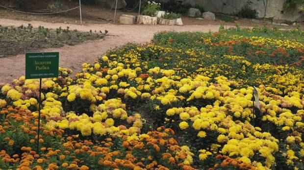 Никитский сад побил рекорд по количеству сортов хризантем