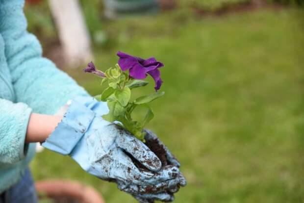 высаживать рассаду петунии