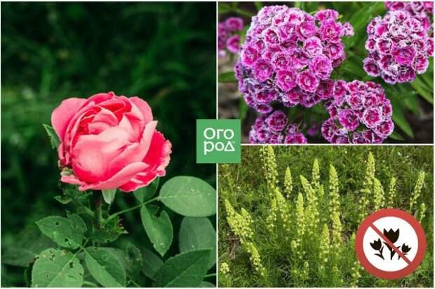 Роза, резеда, гвоздика