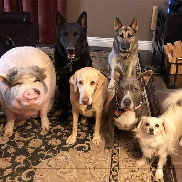 Забавная свинка, выросшая с пятью собаками, думает, что она такая же, как и вся собачья команда