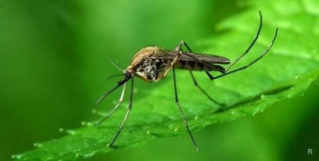Какие растения посадить на дачном участке, чтобы отпугивали комаров, мошек