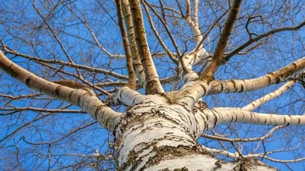 СК и прокуратура начали проверки после падения дерева на девочку в Москве