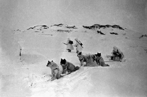 С помощью собачьей упряжки прокладывали телефонную линию по тундре в Заполярье, 1942 год.