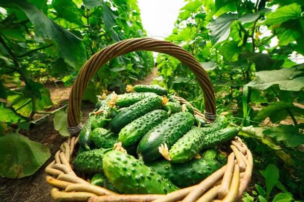 Что нужно для обильных урожаев огурцов