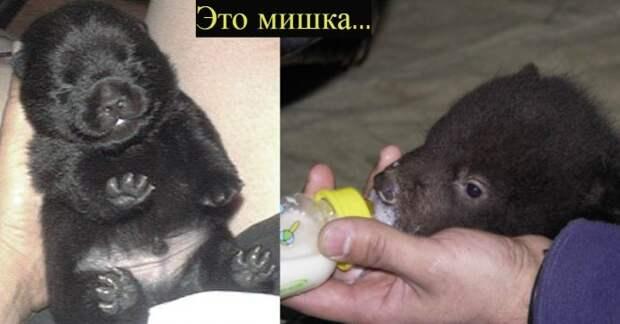 Собака-оборотень?! Китайцы купили щенка мастифа, а потом не поняли, что с ним произошло…