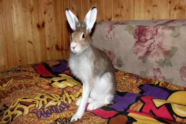 Про зайца животные, заяц, история