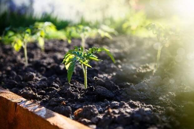 Высадка рассады томатов в грунт и теплицу