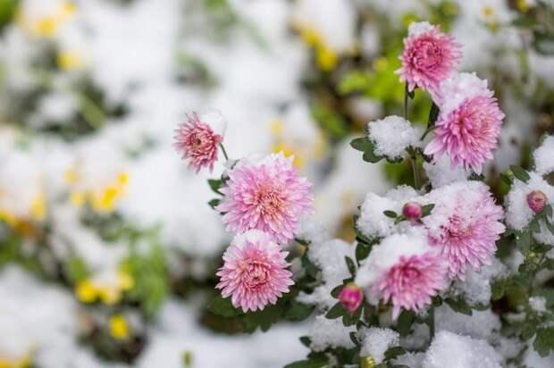 зимостойкие сорта хризантем