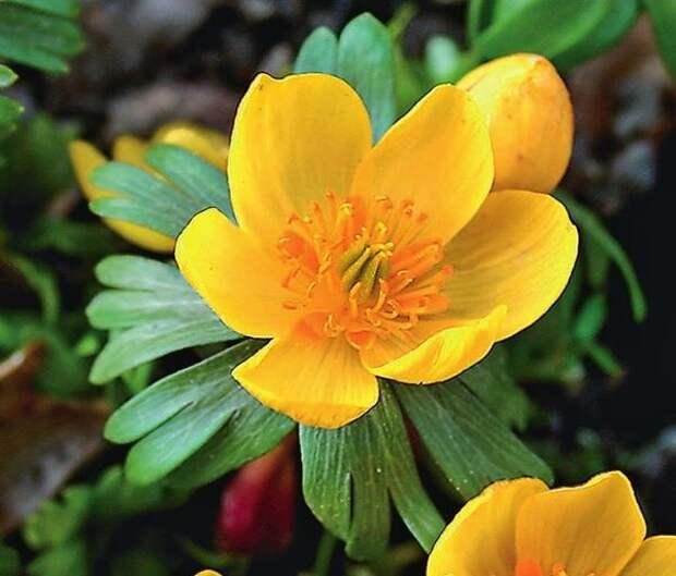 Schlyter's Orange - крупноцветковый сорт, выведенный шведскими селекционерами.