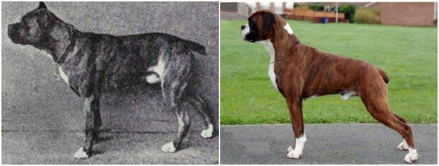 Как изменились породы собак за 100 лет