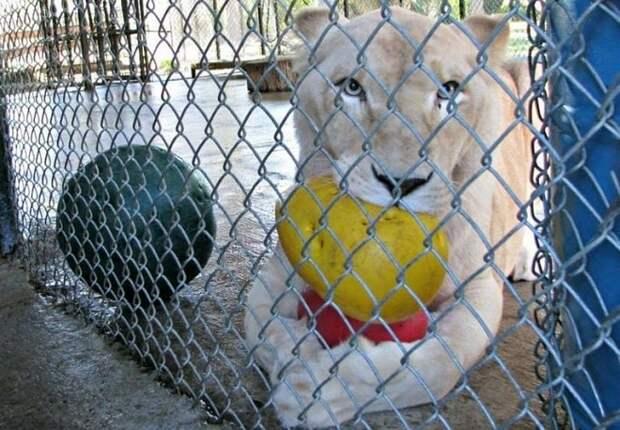 Львицу эксплуатировали, а потом она заболела. Тоска и одиночество угнетали, но внезапно в её жизни появился друг