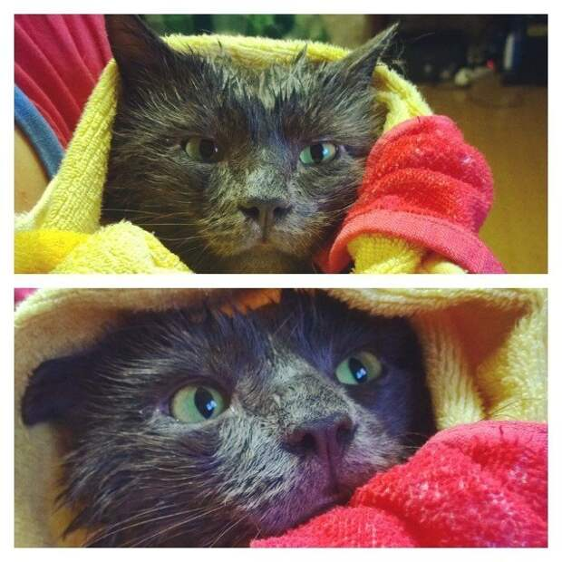 15 вымытых котиков, которые непременно отомстят своим хозяевам #мытыйкот, Instagram, животные, кот, котики, мытый и несчастный