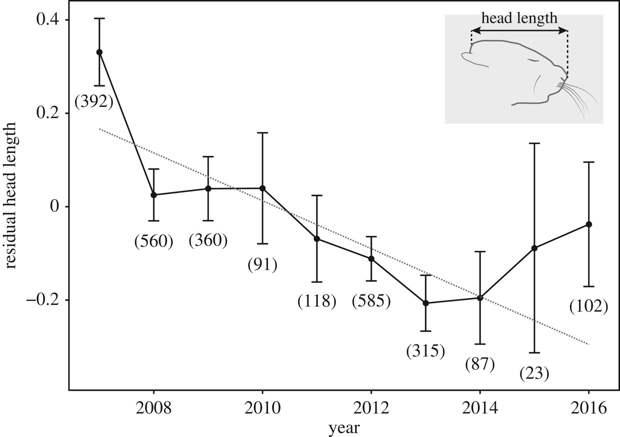 Рис.3. Направленные изменения лицевой части черепа у домовых мышей в амбаре, Geiger et al., 2018.