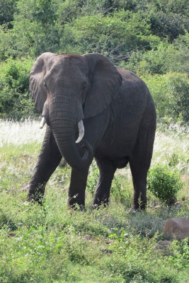 Слон стоит