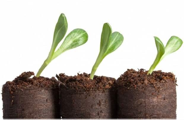 Выращиваю рассаду с защитой от «черной ножки»