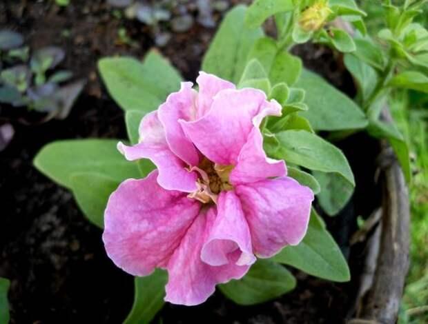 Петунии - любимицы многих цветоводов