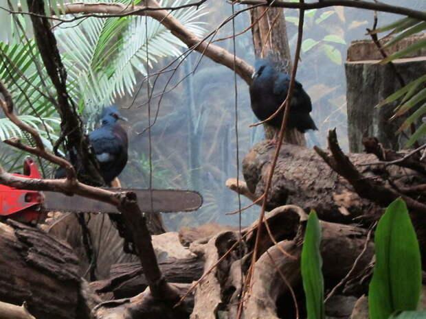 Веероносный венценосный голубь — одна из самых красивых птиц в мире