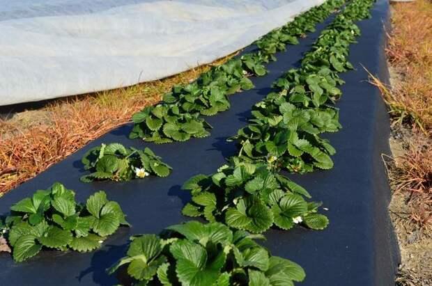 Высокая прочность материала позволяет использовать «Агротекс» на протяжении нескольких сезонов