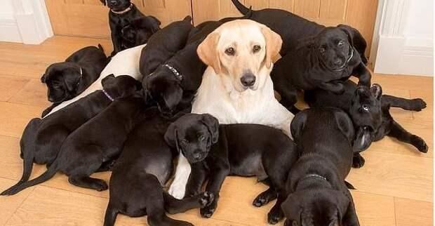 Папа постарался: все 13 щенков — черненькие, а мама — золотистый лабрадор