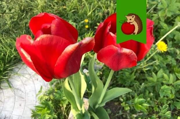 Готовим почву для посадки тюльпанов: советы
