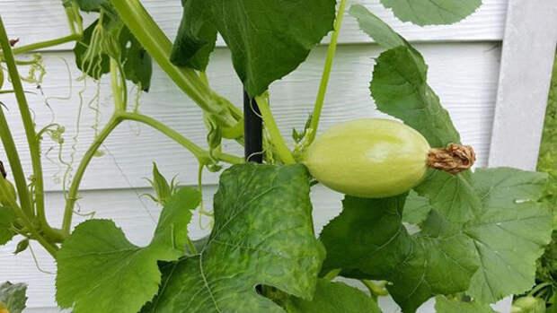 вертикальное выращивание тыквы