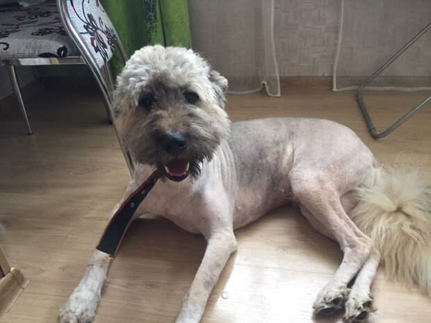 собака после стрижки