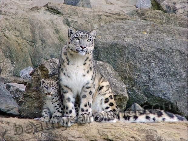 Снежный барс (ирбис или снежный леопард) красивые фото животных