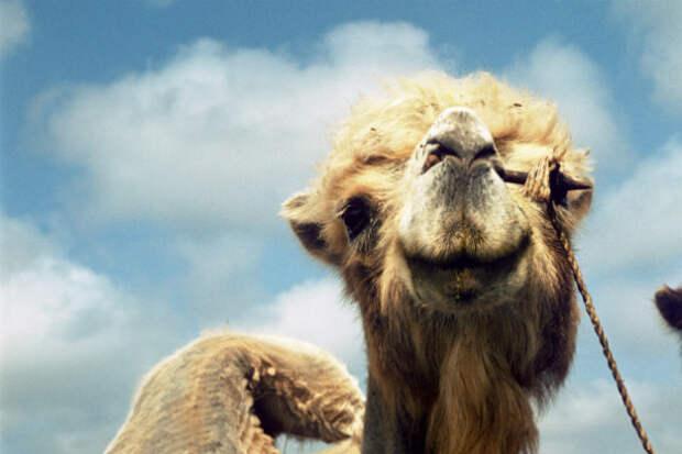 Верный верблюд