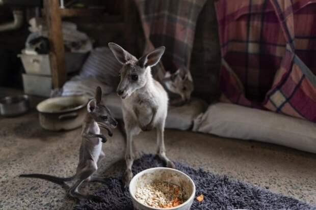 Как супруги из Австралии выхаживают 60 кенгуру и шьют сумочки для кенгурят