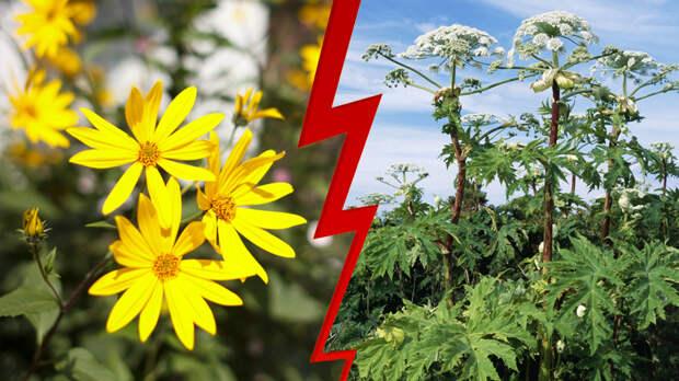 Топинамбур vs борщевик. Может ли одно инвазивное растение вытеснить другое?