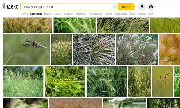 """Скрин из поиска Яндекса по запросу """"виды устюков трава"""""""