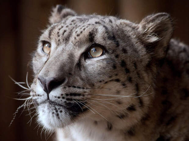 Снежный барс — крупная кошка