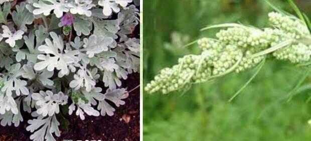 Трава полынь – лечебные свойства и противопоказания для мужчин и женщин
