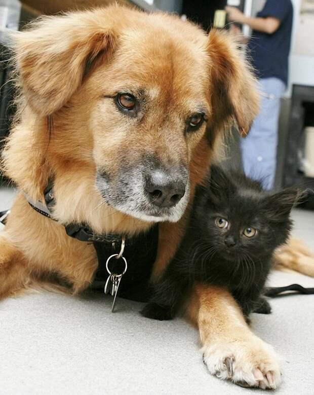 Пёс Бутс который работает кошачьей няней-1