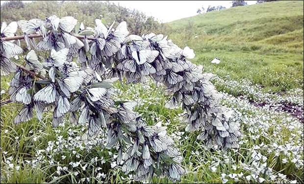 Стаи черно-белых бабочек заполонили Сибирь