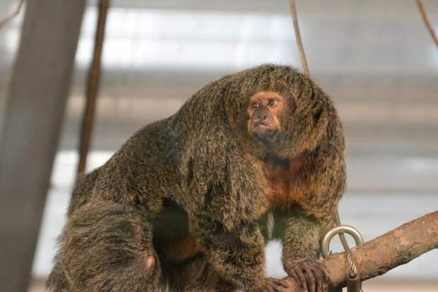 Интернет удивила обезьяна-бодибилдер из финского зоопарка в интернете, животные, забавно, звери, зоопарк, обезьяна, обезьяны, приматы