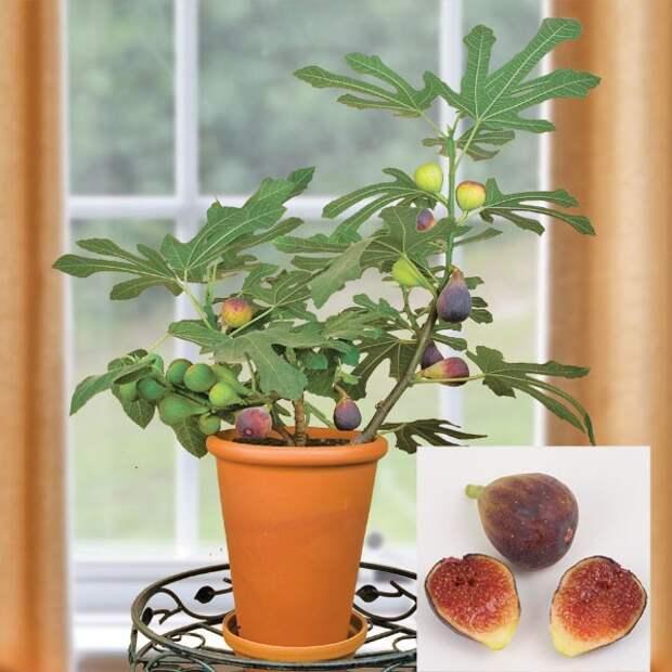 Комнатный инжир: секреты выращивания