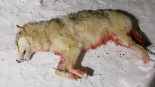 Соцсети: под Оренбургом застрелили дикого волка (18+)