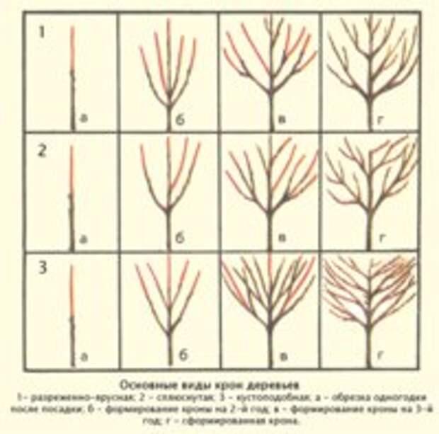 Сроки, схемы и виды осенней обрезки абрикоса
