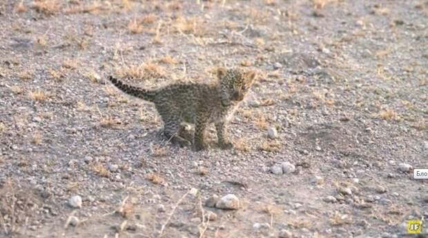 Львица заметила брошенного малыша леопарда и решила его усыновить