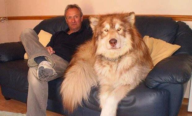 Собака выросла размером с медведя и просто выглянула на улицу, чтобы волки ушли и не возвращались