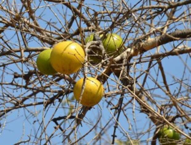 Знакомимся с экзотическими фруктами (Ч. 18-я)