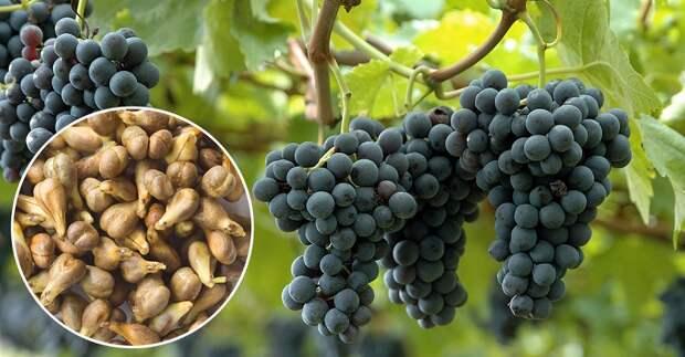 свойства косточек винограда